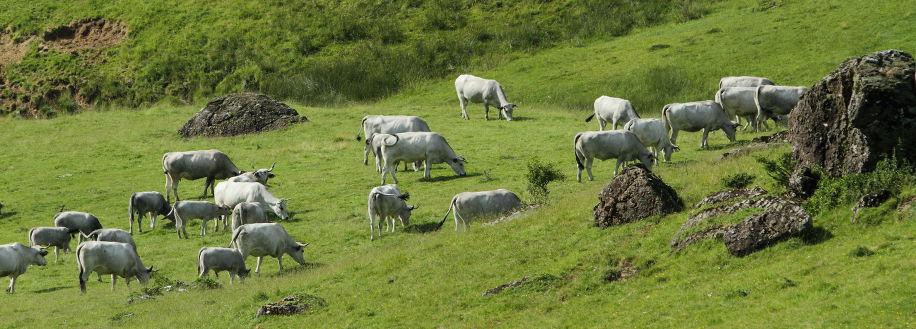 Les vaches gasconnes
