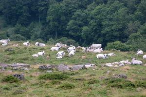 Troupeau de vaches Gasconnes