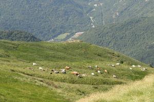 Vaches sur l'estive